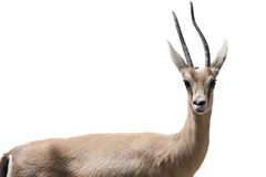 Gazelle isolated. Watching a gazelle totally isolated royalty free stock images