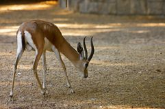 Gazelle looking for some food in the sand stock photography