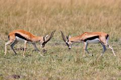 Gazelle male fight in their dry nature habitat Stock Image