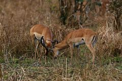 Gazelle male fight in their dry nature habitat Royalty Free Stock Photos