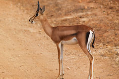 Gazelle Male - Safari Kenya. A young male of gazelle with little horns, in Kenya Stock Photos