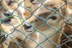 Gazelle mangeant l'herbe Photographie stock