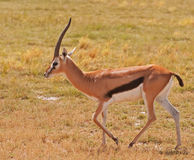 Gazelle, Masai Mara. A male Thomson\'s Gazelle walking across the Masai Mara, Kenya Stock Images
