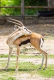 Gazelle masculine de Thomson's Photographie stock libre de droits