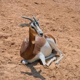 Gazelle Mhorr at savannah. Gazelle Mhorr species: Nanger lady mhorr sits on ground at African savannah royalty free stock photo