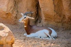 Gazelle Mhorr in shadow. Gazelle Mhorr species: Nanger lady mhorr sits in shadow of rocks royalty free stock image