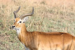 Gazelle in the morning sun. Picture taken in Uganda, Queen Elisabeth National park royalty free stock photography