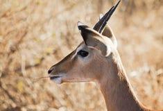 Gazelle munching Royalty Free Stock Photography