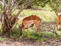 Gazelle. In Nationalpark Masai Mara Royalty Free Stock Photo