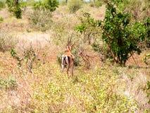 Gazelle. In Nationalpark Masai Mara Stock Photo