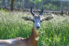 Gazelle in the Oklahoma City Zoo stock images