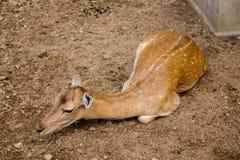 Gazelle op land bij zonnige dag wordt geplaatst die Stock Afbeeldingen