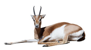 Gazelle over white with shade. Sitting dorcas gazelle over white with shade Royalty Free Stock Image