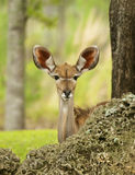 Gazelle Peeking. Young Gazelle peeking behind a tree stock images