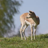 Gazelle persane sur la colline images stock