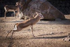 Gazelle Royalty Free Stock Images