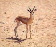 Gazelle árabe Imagem de Stock Royalty Free
