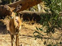 Gazelle regardant la caméra photographie stock