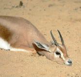 Gazelle resting on sun royalty free stock photos