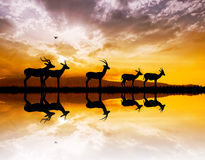 Gazelle on river at sunset Royalty Free Stock Photography