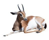 Gazelle Saharian dorcas. Isolated over white. Background stock photos