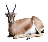 Gazelle Saharian dorcas.  Isolated over white. With shade Royalty Free Stock Image
