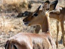 Gazelle, Samburu-national Reserve, Kenia stockbilder