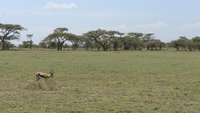 Gazelle in the savannah Royalty Free Stock Photos