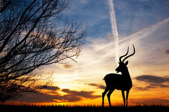 Gazelle silhouette at sunset Stock Images