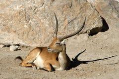 Gazelle Sitting Royalty Free Stock Photography