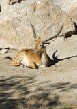 Gazelle Sitting Royalty Free Stock Photo