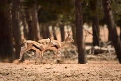 gazelle som kör s-thomson Royaltyfri Bild