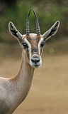 Gazelle Stock Photography