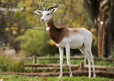Gazelle Royalty Free Stock Photo