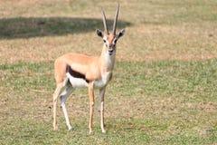 gazelle sur l'herbe photographie stock