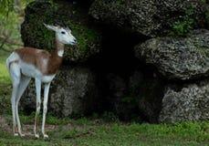 Gazelle tenant les roches proches sur Sunny Day photographie stock libre de droits