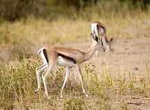 gazelle thomson Στοκ Φωτογραφίες