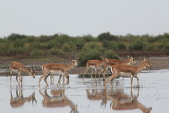 Gazelle at the watering hole in the Shirvan reserve Stock Photography