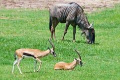 Gazelle y Wildebeest en fondo Fotografía de archivo libre de regalías