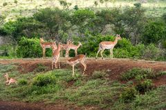 gazellen Lizenzfreie Stockfotos