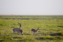 Gazellen, Amboseli Lizenzfreie Stockbilder