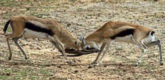 gazellen kriger arkivfoton