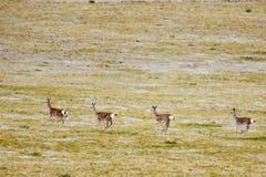 gazelles άγρια περιοχές ομάδας Στοκ φωτογραφία με δικαίωμα ελεύθερης χρήσης