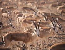 Gazelles. Αραβική άγρια φύση στο φυσικό βιότοπο Στοκ Εικόνες