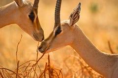 gazelles τρυφερότητα επιχορήγησ& στοκ εικόνα