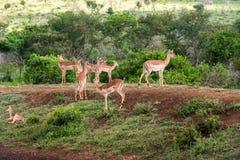 gazelles Стоковые Фотографии RF