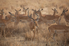 Gazelles Royalty Free Stock Photography