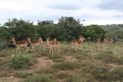 Gazelles Royalty Free Stock Photos
