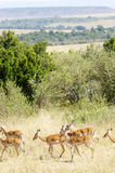 Gazelles Royalty Free Stock Photo