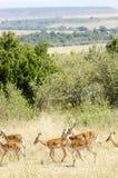Gazelles fotografia stock libera da diritti